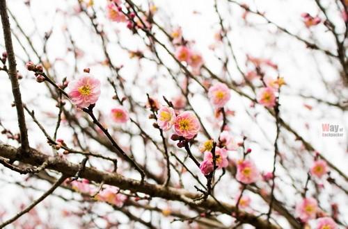 พาเที่ยว อ่างขาง ยอดดอยแห่งดอกไม้